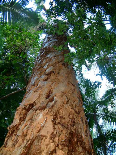 Cajeput Tree: Olbas Herbal Remedies